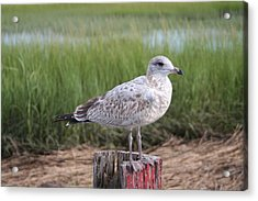 Acrylic Print featuring the photograph Seagull by Karen Silvestri