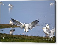Seagull Landing Acrylic Print by Marsha Schorer