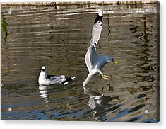 Acrylic Print featuring the photograph Seagull by Leif Sohlman