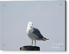 Seagull Looking For Some Food Acrylic Print by John Telfer