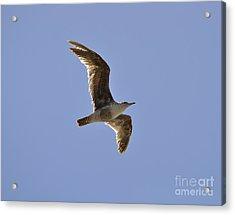 Seagull N Light  Acrylic Print