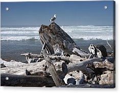 Seagull On Oregon Coast Acrylic Print by Peter French