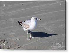 Acrylic Print featuring the pyrography Seagull On The Hunt by Chris Thomas