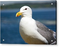 Seagull On The Sound Acrylic Print by Bob Noble Photography