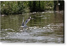 Acrylic Print featuring the photograph Seagull Searching Food by Leif Sohlman
