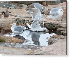 Seagull Swimming Pool - Acadia Acrylic Print