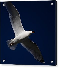 Seagull Underglow Acrylic Print