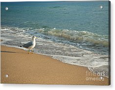 Seagull Walking On A Beach Acrylic Print by Sharon Dominick