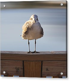 Seagull With An Attitude  Acrylic Print by Mike McGlothlen