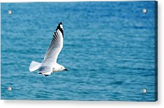 Acrylic Print featuring the photograph Seagull by Yew Kwang