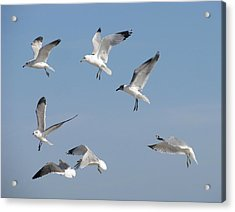 Seagulls See A Cracker Acrylic Print