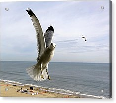 Inquisitive Seagull Acrylic Print