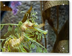 Acrylic Print featuring the photograph Seahorse by Mike Lee