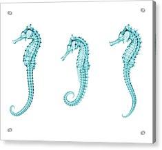 Seahorses Acrylic Print by Brendan Fitzpatrick
