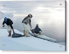 Seal Hunting Acrylic Print by Louise Murray
