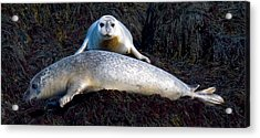 Seal Massage 5662 Acrylic Print by Brent L Ander