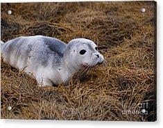 Seal Pup Acrylic Print by DejaVu Designs