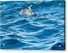 Seal Pup In Distress Acrylic Print