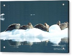 Seal Reflections Acrylic Print