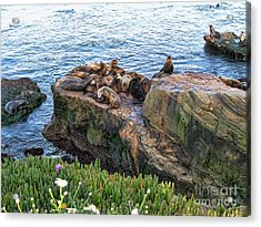 Seals And Pups Acrylic Print by Bedros Awak