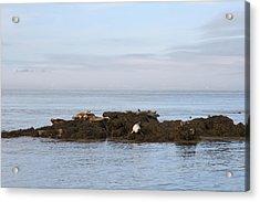 Seals On Island Acrylic Print by Carolyn Reinhart