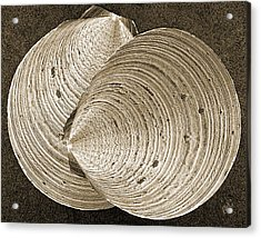 Seashells Spectacular No 11 Acrylic Print