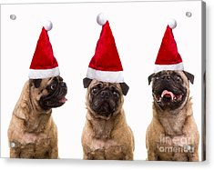 Seasons Greetings Christmas Caroling Pug Dogs Wearing Santa Claus Hats Acrylic Print by Edward Fielding