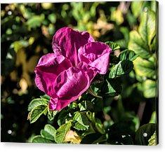 Seasons Last Rose Acrylic Print by Leif Sohlman