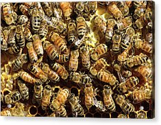 Seattle Honeybees In Beehive Acrylic Print