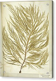 Seaweed (desmarestia Ligulata) Acrylic Print by Science Photo Library