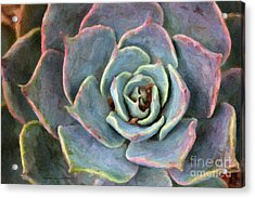 Sedum With Pink Edges Acrylic Print by Susan Schroeder
