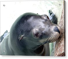 Acrylic Print featuring the photograph See Me Seal by Amanda Eberly-Kudamik