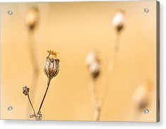 Acrylic Print featuring the photograph Seed Pod. by Gary Gillette