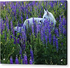 Acrylic Print featuring the photograph Sekani In Lupine by Sean Sarsfield