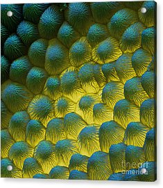 Sem Of Rapeseed Flower Acrylic Print by Eye of Science