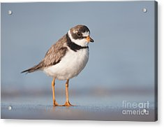 Semipalmated Plover Acrylic Print
