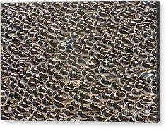 Semipalmated Sandpipers Sleeping Acrylic Print