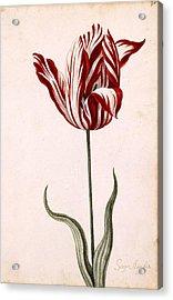 Semper Augustus Acrylic Print