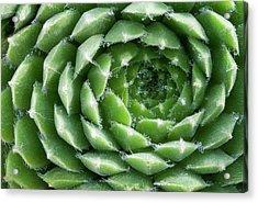 Sempervivum Heuffelii 'brocade' Abstract Acrylic Print by Nigel Downer