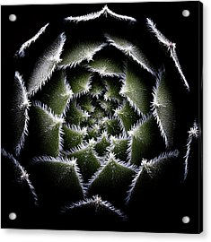 Sempervivum Rosette Acrylic Print
