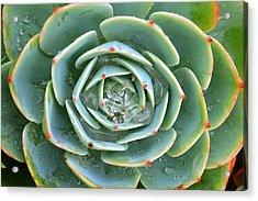 Sempervivum Tectorum Acrylic Print