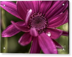 Senetti Water Droplet Acrylic Print by Andrew Pounder