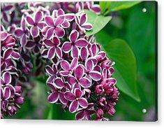 Sensation Lilac Acrylic Print