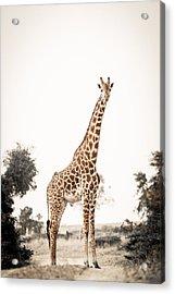 Acrylic Print featuring the photograph Sentinal Giraffe by Mike Gaudaur