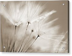Sepia Dandelion Clock And Water Droplets Acrylic Print by Natalie Kinnear