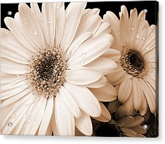 Sepia Gerber Daisy Flowers Acrylic Print by Jennie Marie Schell