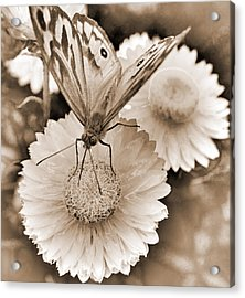 Sepia Monarch Butterfly On Paper Daisy Acrylic Print by Patrick OConnell