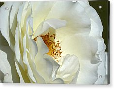 Acrylic Print featuring the photograph September Mourn Rose by Cindy McDaniel