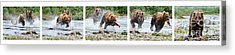 Sequence Of Large Brown Stealing Salmon From Smaller Brown Bear Acrylic Print by Dan Friend