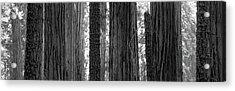 Sequoia Grove Sequoia National Park Acrylic Print